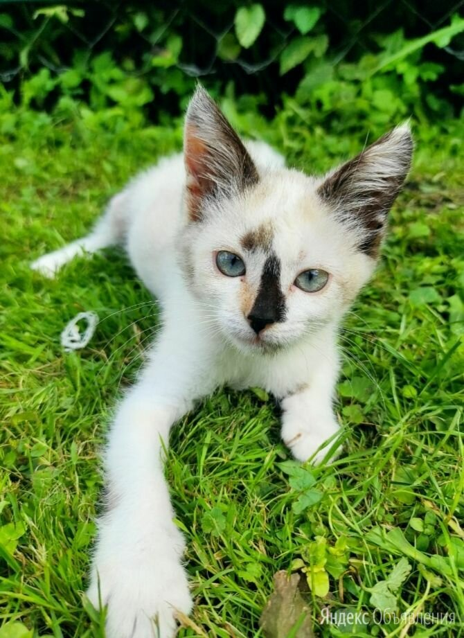 Крошка-кошечка Ляля ждет своих папу-маму по цене даром - Кошки, фото 0