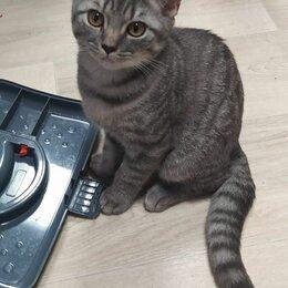 Кошки - Британские котята, 0