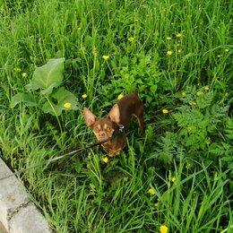 Собаки - Той терьер из Северска. Просто красавчик ищет подругу,вес 4.200., 0