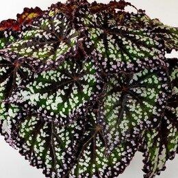 Комнатные растения - Бегонии декоративно лиственные, 0