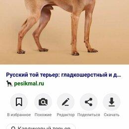 Животные - ПОТЕРЯШКА! Русский той терьер гладкий, 0