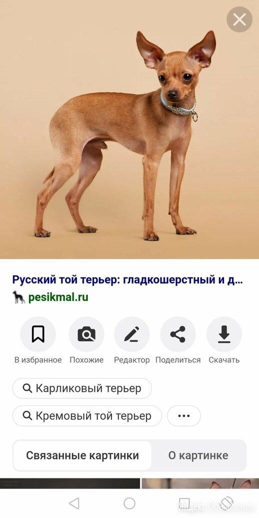 ПОТЕРЯШКА! Русский той терьер гладкий по цене не указана - Животные, фото 0
