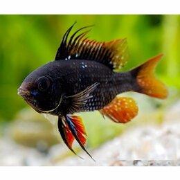 Аквариумные рыбки - Апистограмма Черная Рамирези Темный Рыцарь (Microgeophagus ramirezi var. Black), 0