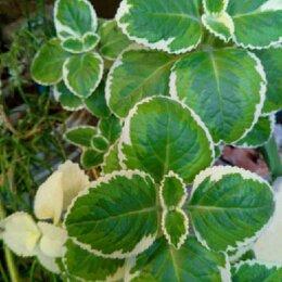 Комнатные растения - Плектрантус - комнатная мята, 0