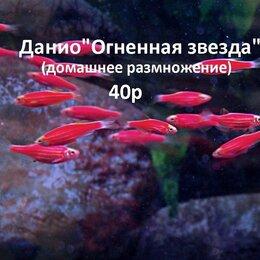 Аквариумные рыбки - Данио.Аквариумные рыбки., 0