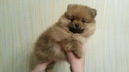 Собаки - Прикрасные щенки белого шпица, 0