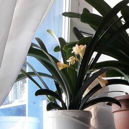 Комнатные растения - Кливия цветок в горшке, 0