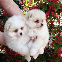 Собаки - щенки щпица, 0
