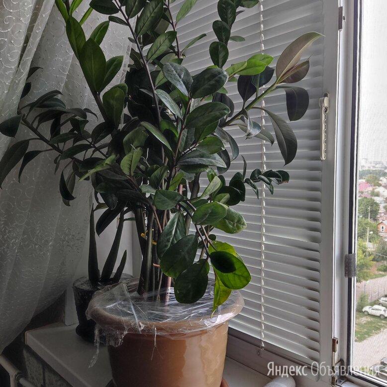 Замиокулкас по цене 2000₽ - Комнатные растения, фото 0