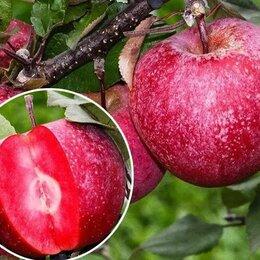 Рассада, саженцы, кустарники, деревья - Саженцы яблони Ред Кетти(с красной мякотью) , 0