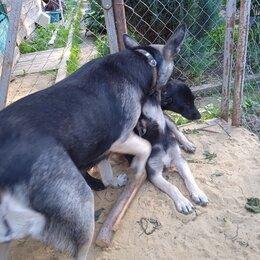 Собаки - Щенки  лабронемцы с 27 марта, 0