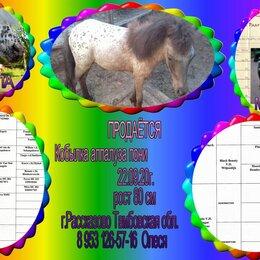 Лошади - Аппалуза пони, 0