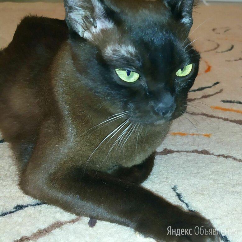 Бурманский кот по цене 5000₽ - Кошки, фото 0