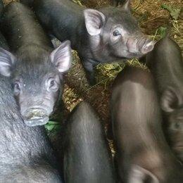 Сельскохозяйственные животные и птицы - Вьетнамские вислобрюхие поросята 2 месяца, 0