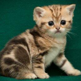 Кошки - Британская короткошерстные мраморные котята, 0
