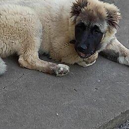 Собаки - Щенки Кавказской Овчарки, 0