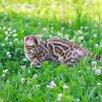 Бенгальская кошка по цене 60000₽ - Кошки, фото 6