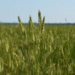 Семена - Семена Житняка Сорт: павловский 12, 0