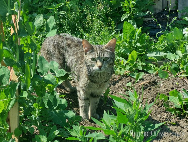 Кошка-мышеловка в добрые руки по цене даром - Животные, фото 0