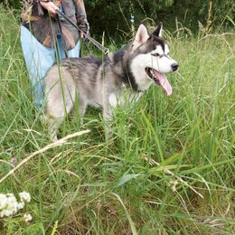 Собаки - Щенки Сибирский Хаски, 0