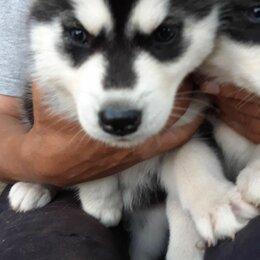 Собаки - Щенки Сибирской хаски, 0