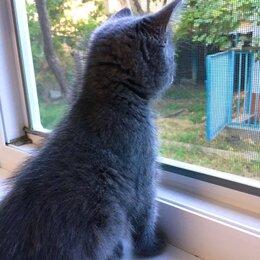 Кошки - Британская - Шотландская  кошка , 0