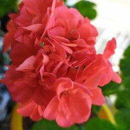 Комнатные растения - Герань , 0