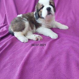 Собаки - Сенбернар  длинношерстный щенок 1 месяц, 0
