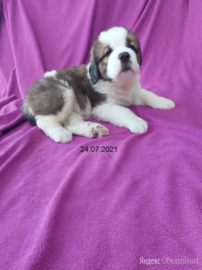 Сенбернар  длинношерстный щенок 1 месяц по цене 16000₽ - Собаки, фото 0