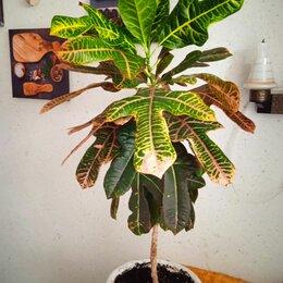 Комнатные растения - Кодиеум кротон листья сохнут, 0