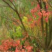 Клен остролистный по цене 18700₽ - Рассада, саженцы, кустарники, деревья, фото 1
