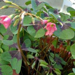 Комнатные растения - Оксалис (кислица), 0