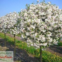 Рассада, саженцы, кустарники, деревья - Яблоня, 0