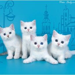 Кошки - Шотландские белые котята, 0