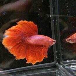 Аквариумные рыбки - Аквариумная рыбка петушок 8 видов Новый завоз, 0