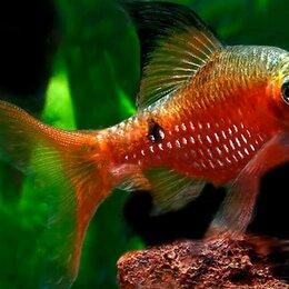 Аквариумные рыбки - Барбус Огненный вуалевый, 0