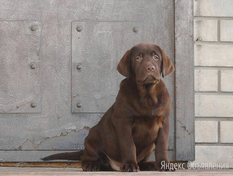 Щенки лабрадора по цене не указана - Собаки, фото 0