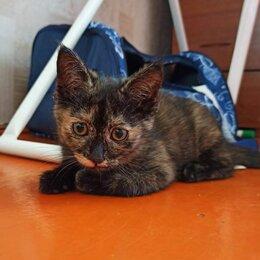 Кошки - Красивый котенок черепахового окраса, 0