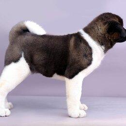 Собаки - Американская акита, 0