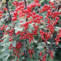 Рассада, саженцы, кустарники, деревья - Ягоды красной смородины, 0
