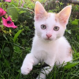 Кошки - Бело-рыжий котенок в дар, 0