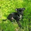 Продам щенков чихуахуа по цене 9000₽ - Собаки, фото 3