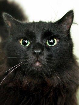 Кошки - Пушистый чёрный красавец Гризли, 0
