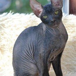 Кошки - Донской сфинкс , 0