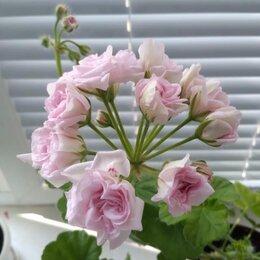 Комнатные растения - Пеларгония, 0