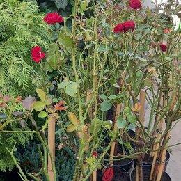 Рассада, саженцы, кустарники, деревья - Роза на штамбе , 0