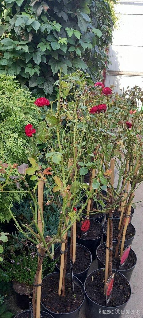 Роза на штамбе  по цене 2000₽ - Рассада, саженцы, кустарники, деревья, фото 0