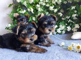 Собаки - Мимишные Щенки породы Йоркширского терьера, 0