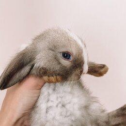 Кролики - Карликовый баран вислоухий кролик, 0