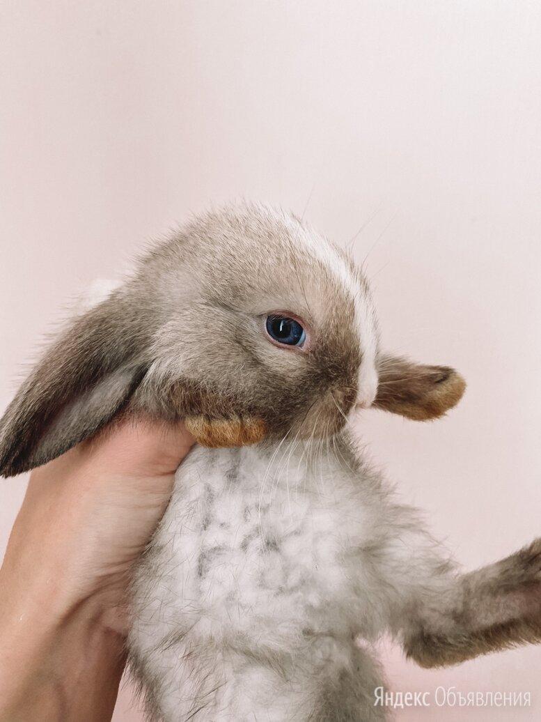 Карликовый баран вислоухий кролик по цене 3000₽ - Кролики, фото 0